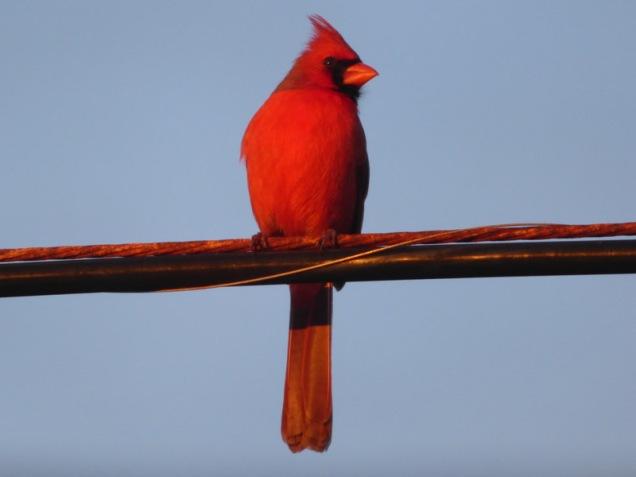 b Cardinal on Line