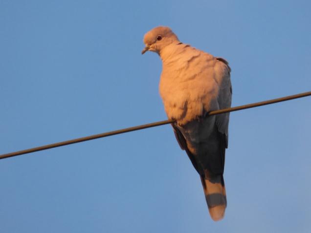 b Dove on Line