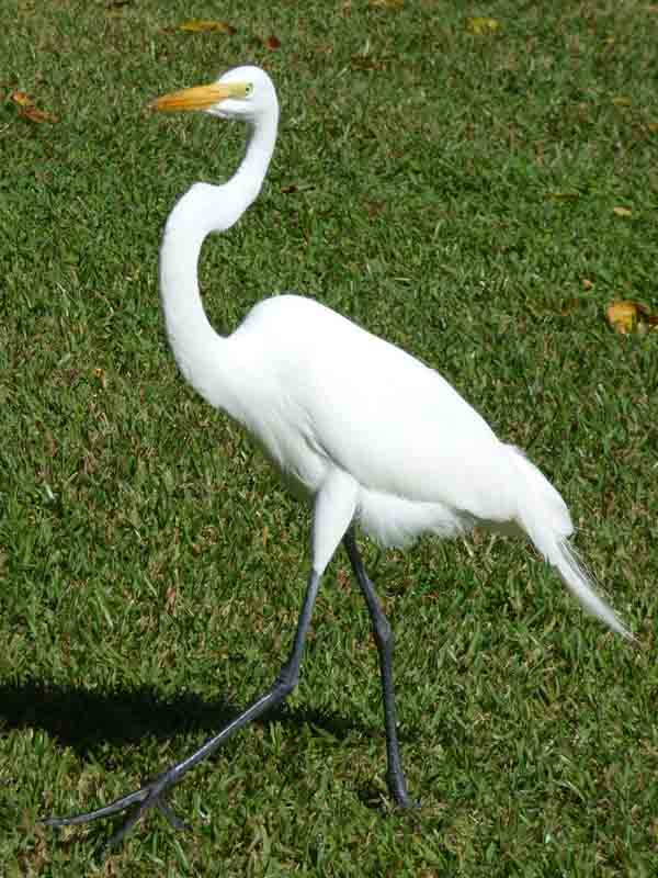 b Great Egret on Grass