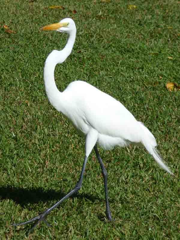 b Great Egret on Grass