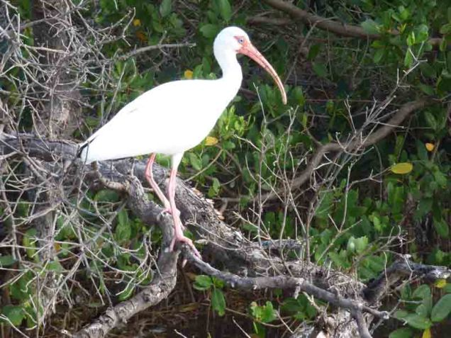 b Ibis on Magrove Branch