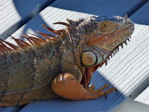 b Iguana Closeup