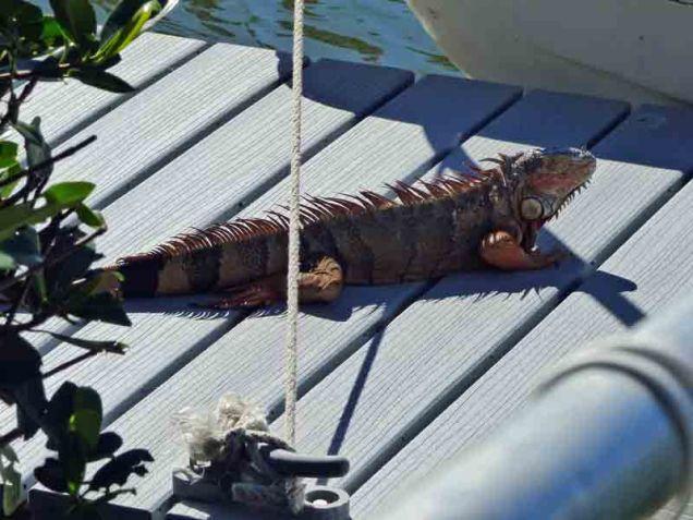b Iguana on Pier