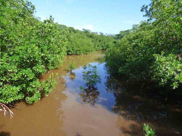 b Muddy Creek Through Mangroves