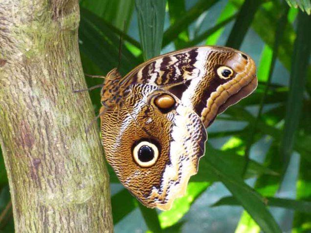 b Owl Butterfly