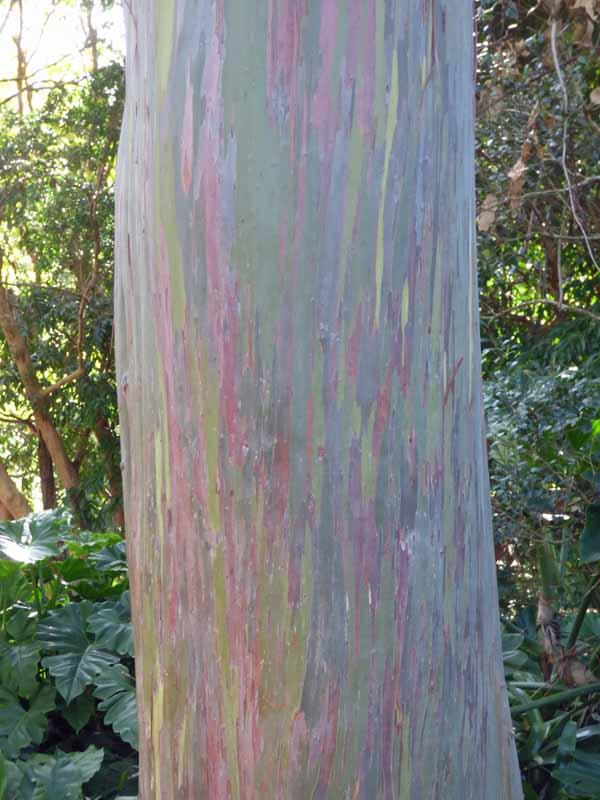 b Rainbow Tree