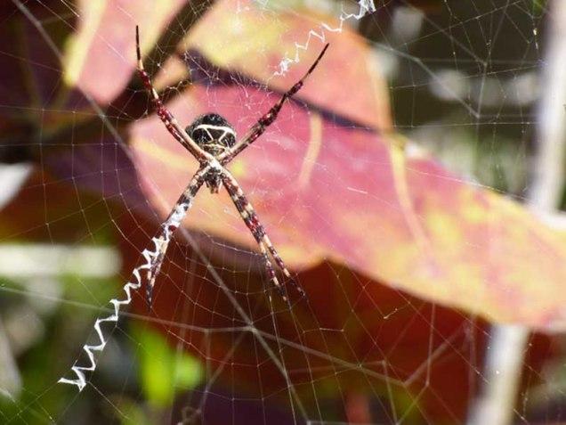 b Silver Garden Spider