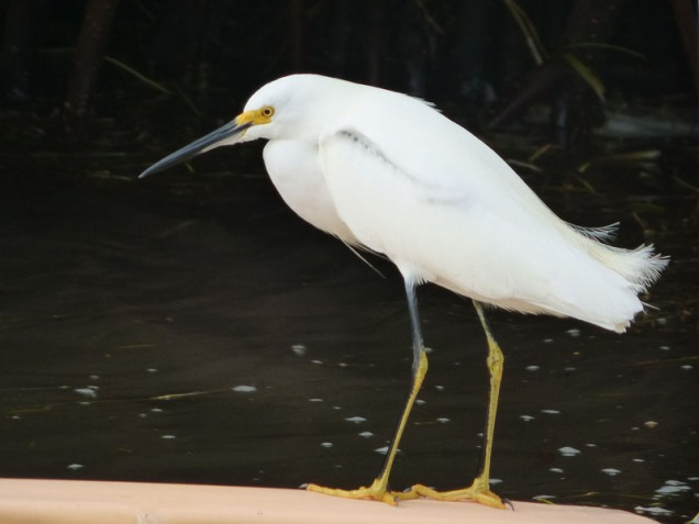 b Snowy Egret on Float