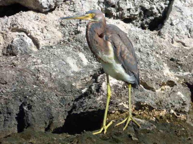 b Tricolored Heron
