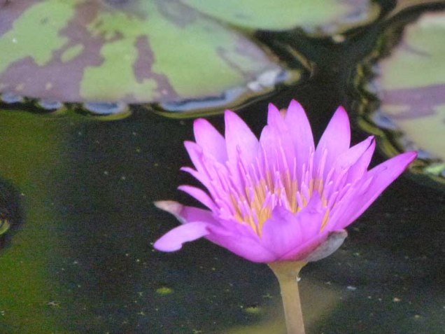 b Water Lily