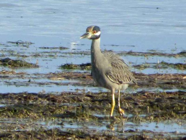 b Yellow Crowned Night Heron