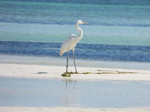 b Great Egret on Stripes
