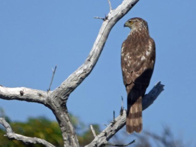 b Hawk on Dead Tree