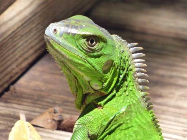 b Iguana Portrait