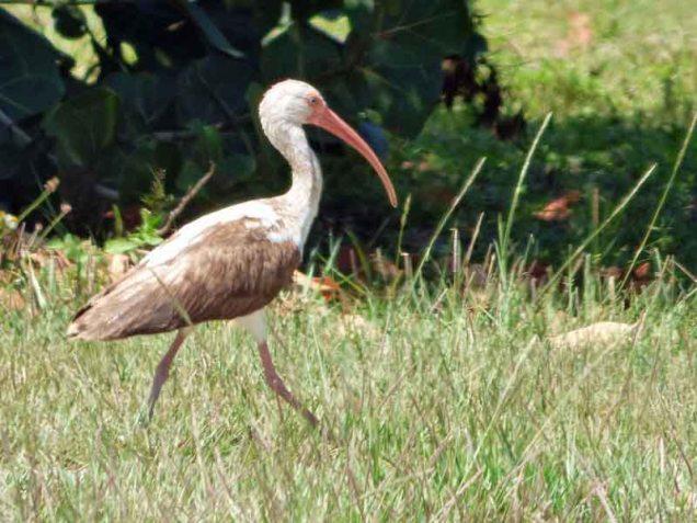 b Juvenile Ibis in Oceanfront Park