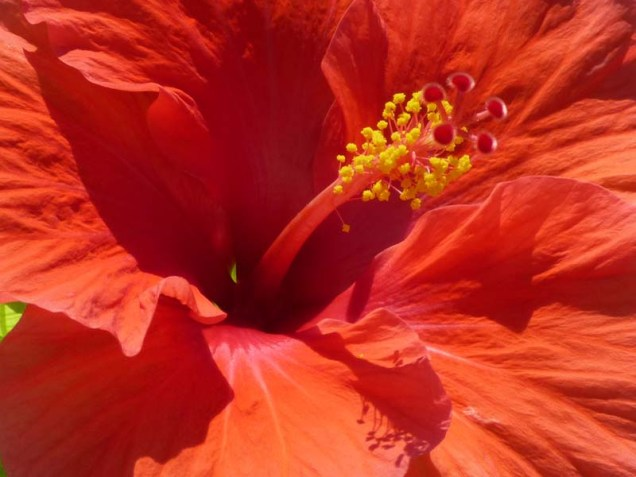 b Red Hibiscus Close Up