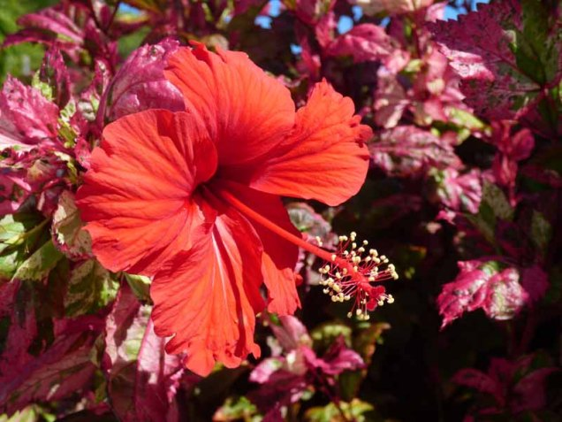 b Red Leafed Hibiscus