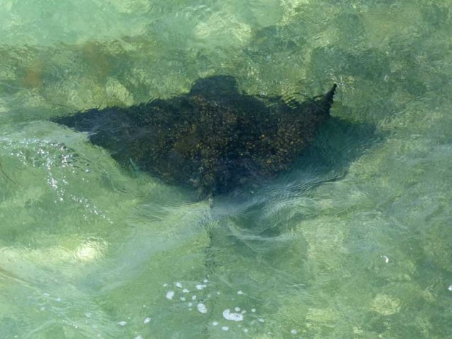 b Spotted Eagle Ray