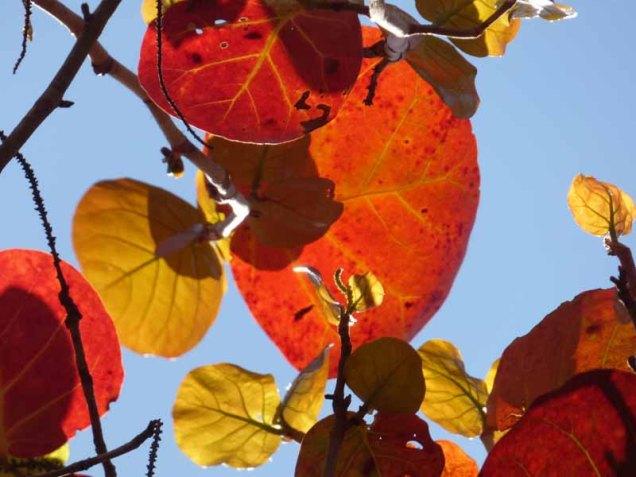 b Sun Through Seagrape Leaves