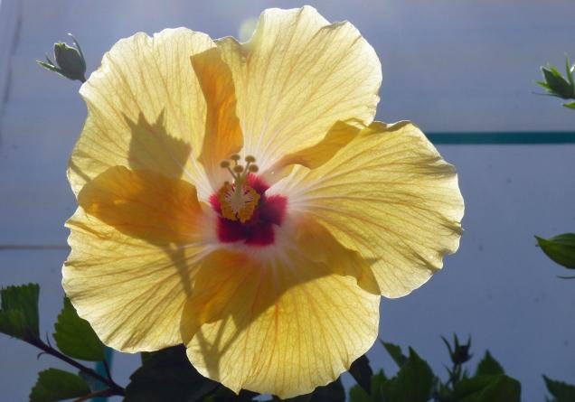 b Yellow Hbiscus w Sun Back