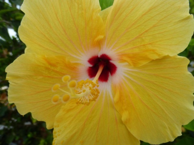 b Yellow Hibiscus