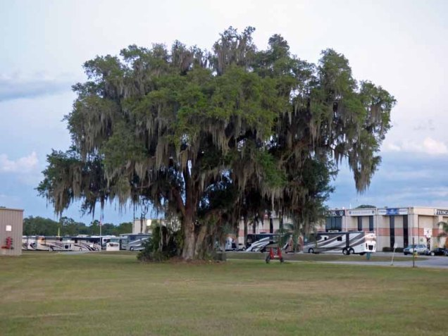 b Live Oak Tree