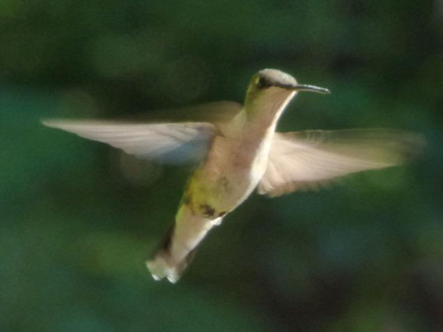b Hummingbird 1