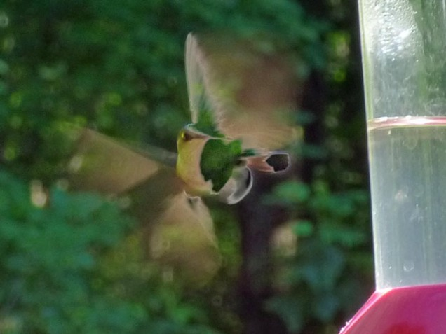 b Hummingbird at Feeder