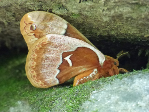 b Moth on Rock Under Log