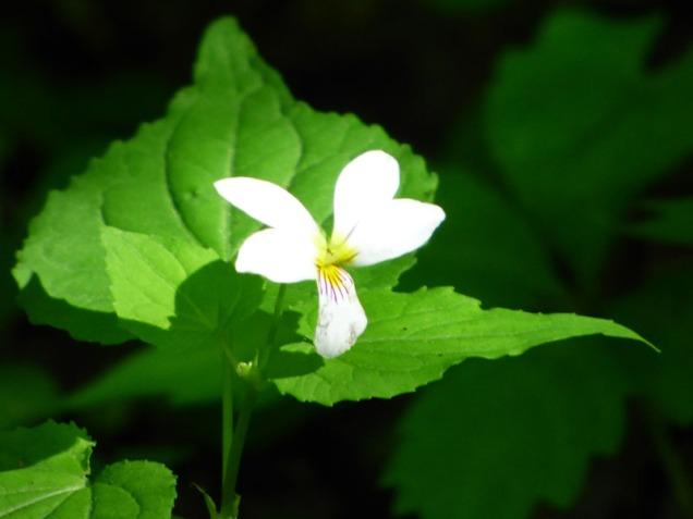 b White Violet