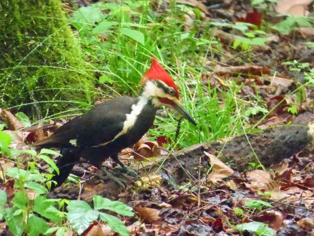 b Woodpecker