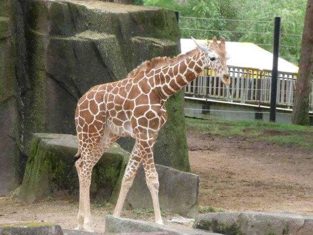 b Baby Giraffe