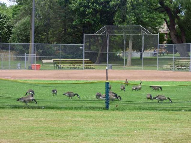 b Geese in the Outfield