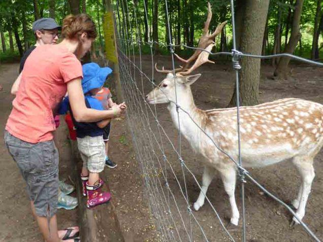 b04 Fallow Deer
