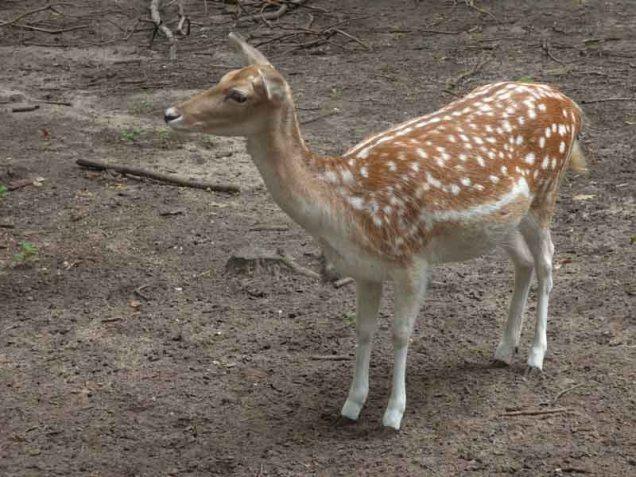 b05 Fallow Deer
