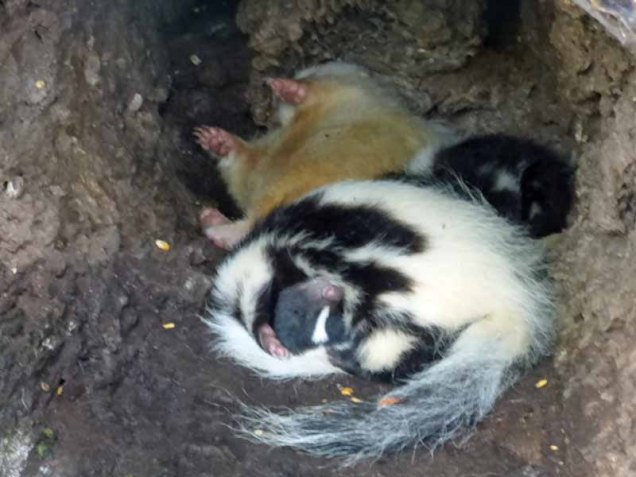 b08 Three Skunks in Hollow Log