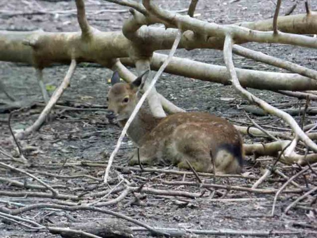 b09 Sika Deer Fawn