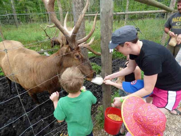 b12 Feeding Elk Buck