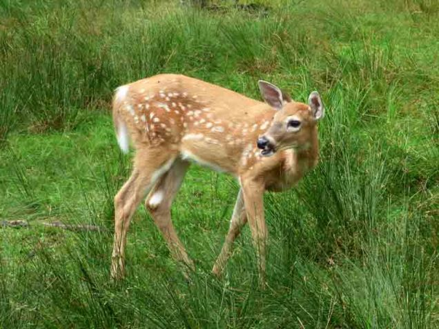 b14 Sika Deer