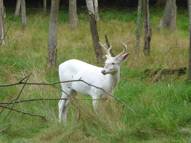 b15 Albino Whitetail Deer