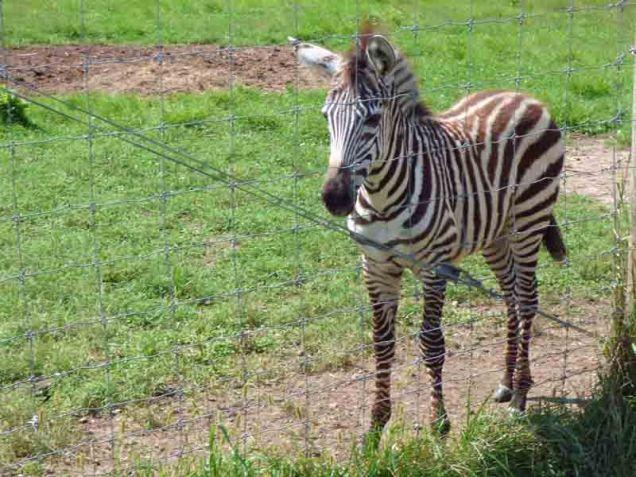b18 Small Zebra