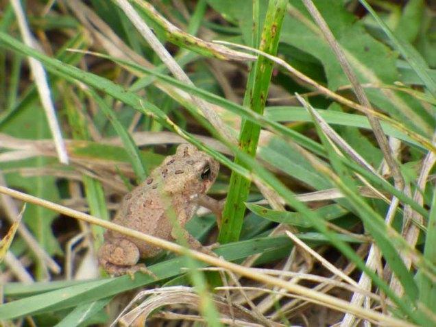 b96 Tiny Toad