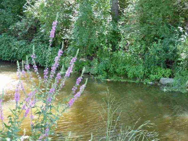 b98 Purple Flowers Along Millrace