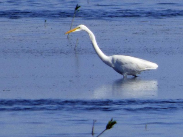 b01-great-white-egret