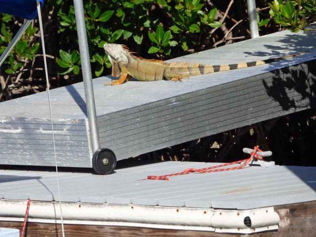 b03-iguana-on-pier