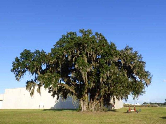 b1-live-oak-tree