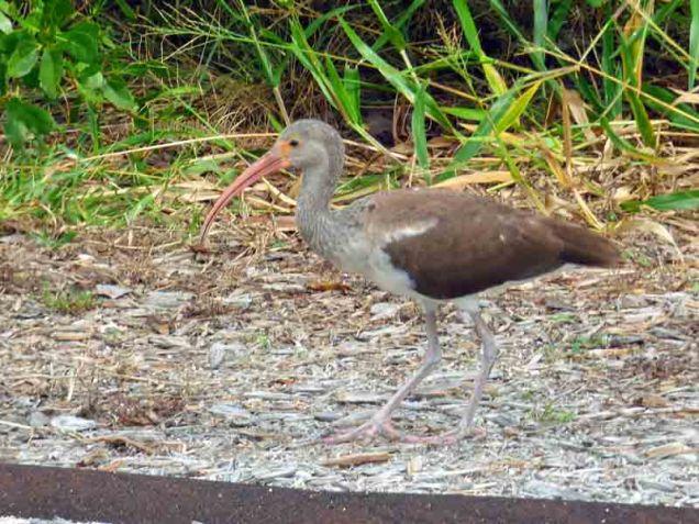 b03-juvenile-ibis