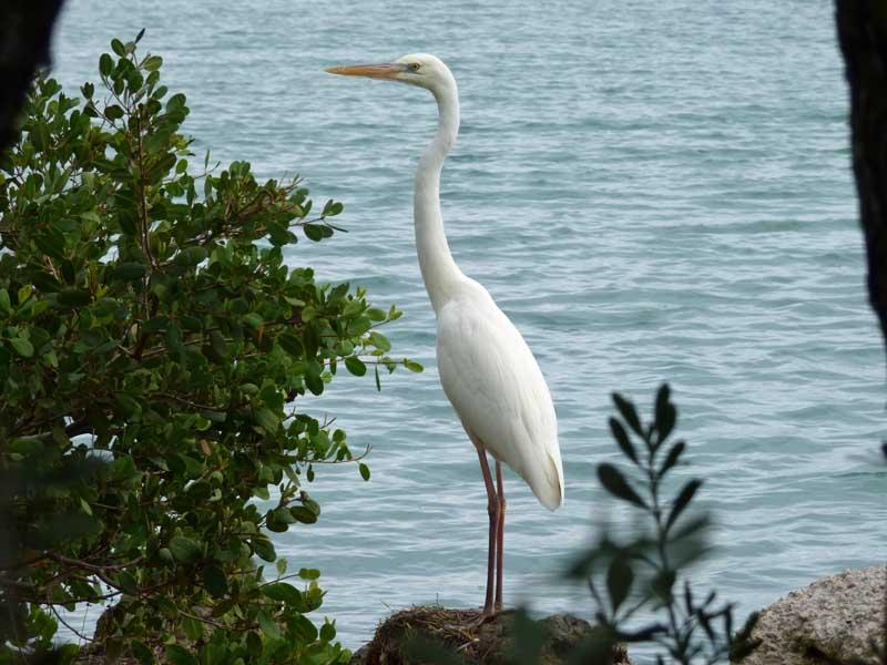 b04-great-white-egret