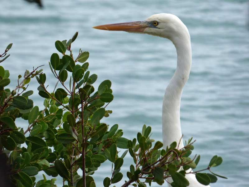 b05-great-white-heron-head