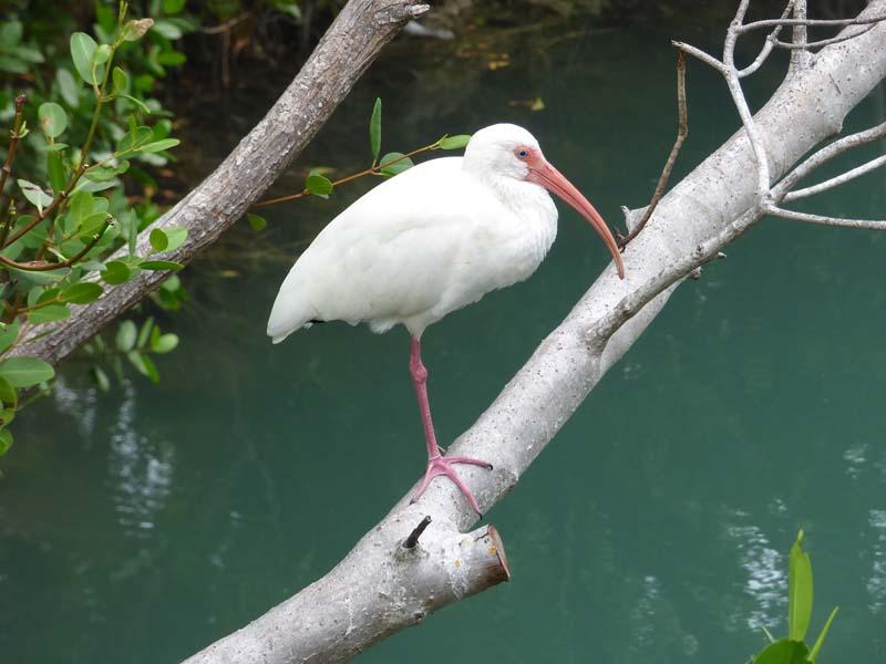 b06-ibis-on-mangrove-branch
